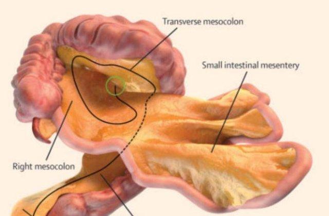 Un nou organ a fost descoperit in corpul uman