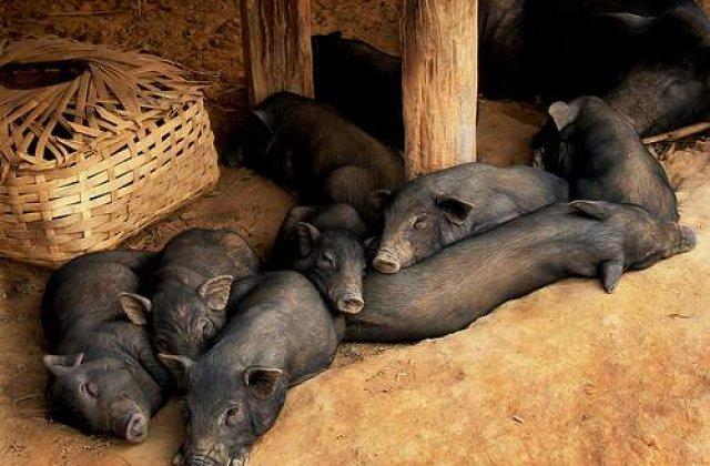 Micro-porcul care a intrecut cainele
