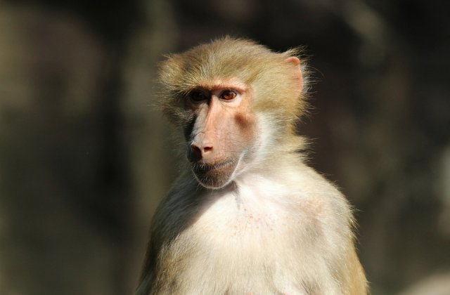 Un babuin a lasat un oras fara curent electric