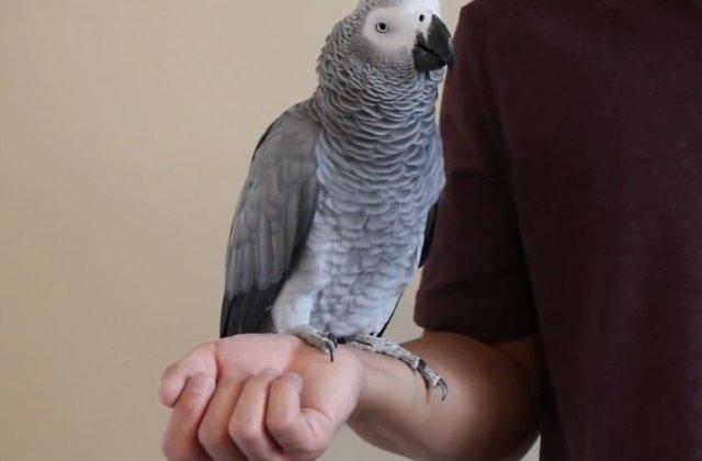 Un papagal a plasat o comanda pe Amazon