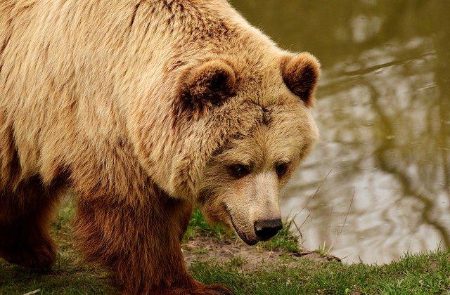 Un urs a atacat un vanator si i-a furat armele
