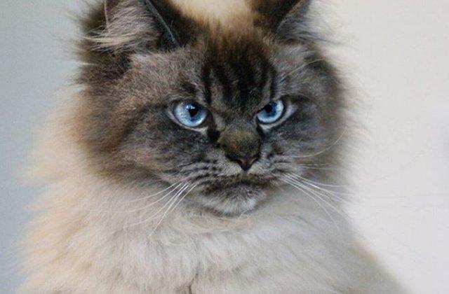 Cum arata cea mai furioasa pisica din lume