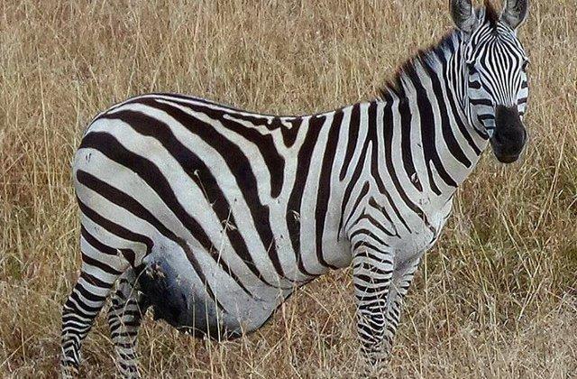 Cum arata animalele exact inainte sa aduca pui pe lume? 10 imagini impresionante