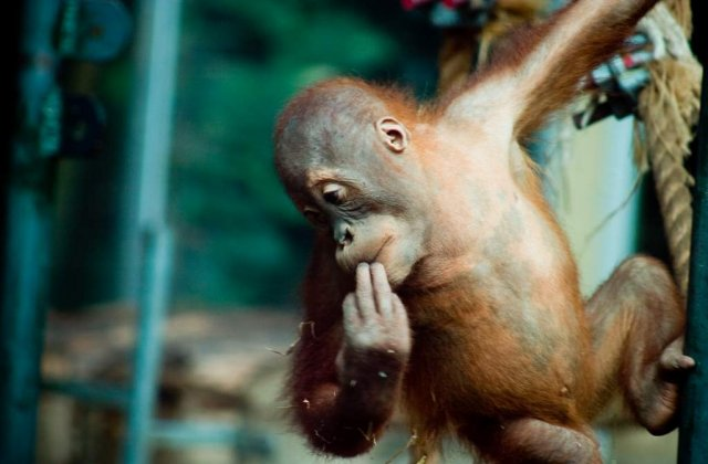 [VIDEO] O maimuta pe post de chelner: Nota va rog!