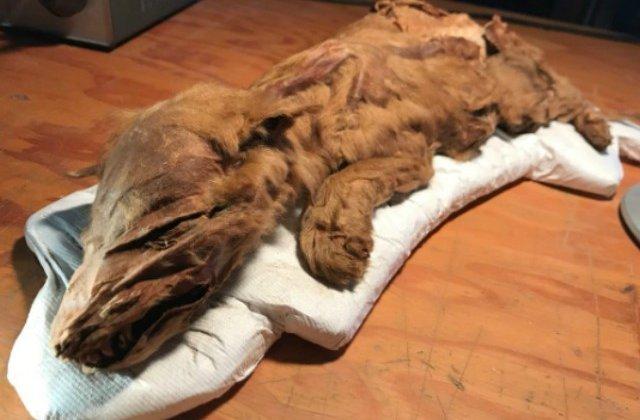 S-au expus cele doua mumii de mamifere perfect conservate din Epoca de Gheata