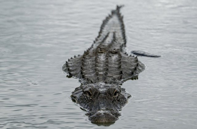 O femeie din Australia a fost atacata si ucisa de un crocodil