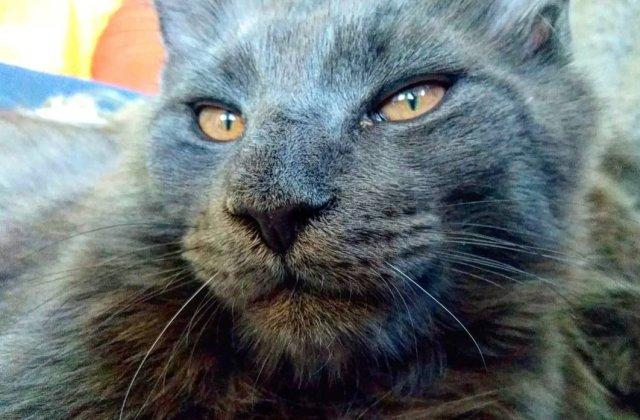 10+ imagini care surprind frumusetea aparte a pisicilor din rasa Maine Coon