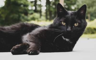 O pisica neagra a patruns pe...