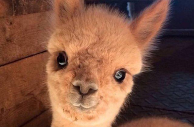 Caracter bland si ochii mari. 10+ imagini cu Alpaca ce iti vor face ziua mai frumoasa