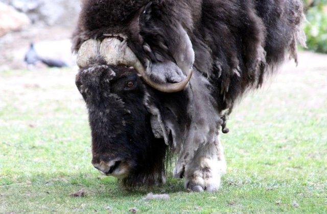 Doi zimbri de la Vama Buzaului vor fi reintrodusi in libertate in Parcul Natural Vanatori Neamt