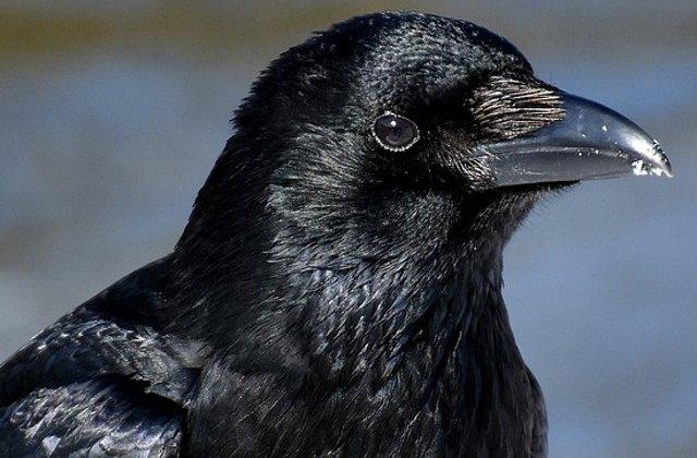 Patru pui de corb au eclozat in Turnul Londrei, evitand astfel o profetie despre prabusirea Marii Britanii