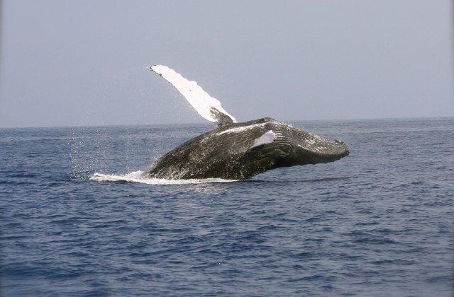 Japonia a reluat vanatoarea comerciala de balene, dupa 31 de ani
