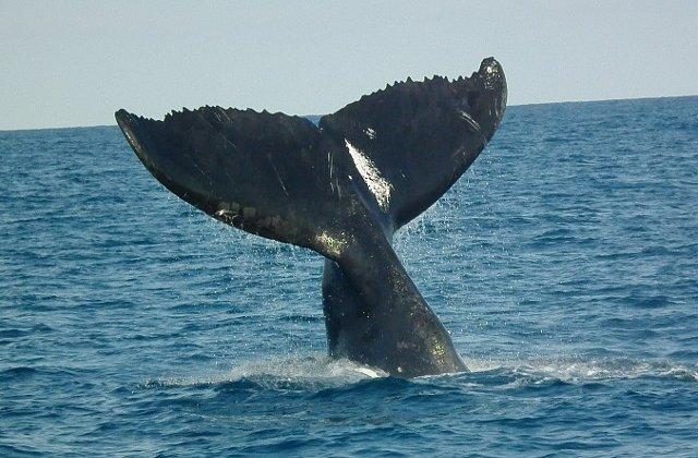 """Balenele mame le """"soptesc"""" puilor pentru a evita sa fie descoperiti de pradatori"""