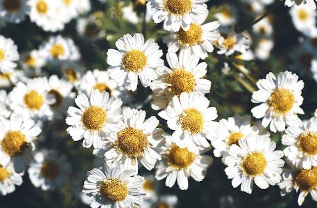 Substanta anticanceroasa, descoperita de cercetatori intr-o floare comuna