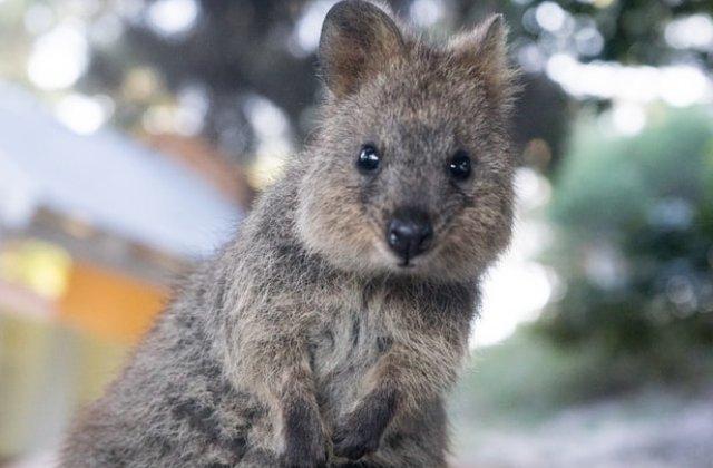 Quokka, o specie pe cale de disparitie, va avea propria zi dedicata in Australia