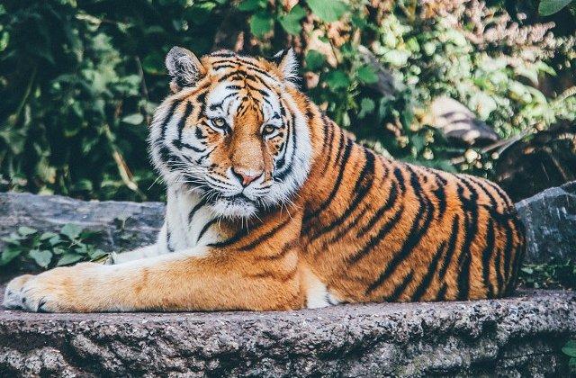 Thailanda: Peste jumatate dintre tigrii salvati dintr-un templu budist au murit