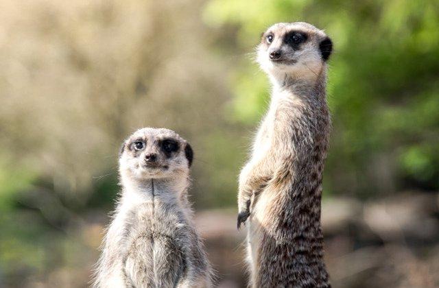 Mereu cu ochii in patru: 10+ imagini care demonstreaza ca suricatele sunt cele mai curioase animale