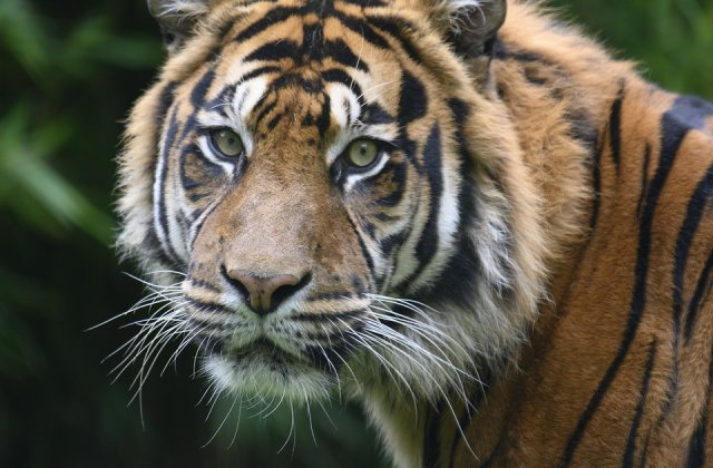 Thailanda: Templul Tigrilor invinuieste guvernul pentru decesul tigrilor confiscati de autoritati
