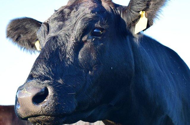 Kaga, prima vaca obtinuta prin clonare din lume, a murit la 21 de ani