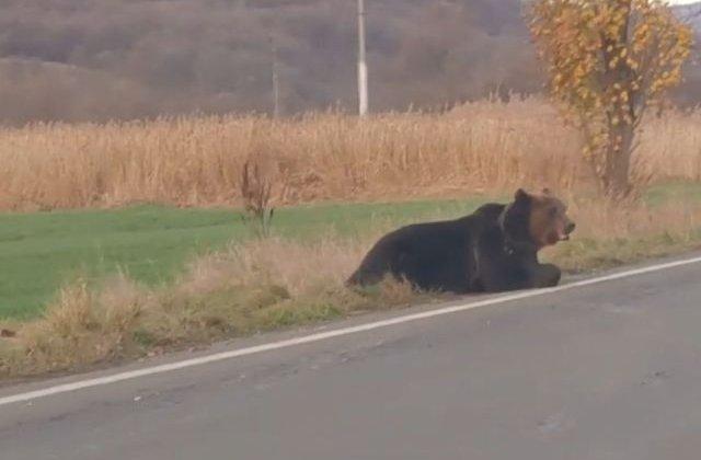 Un urs lovit de o masina la iesirea din Praid, in agonie 18 ore pe marginea drumului/ VIDEO