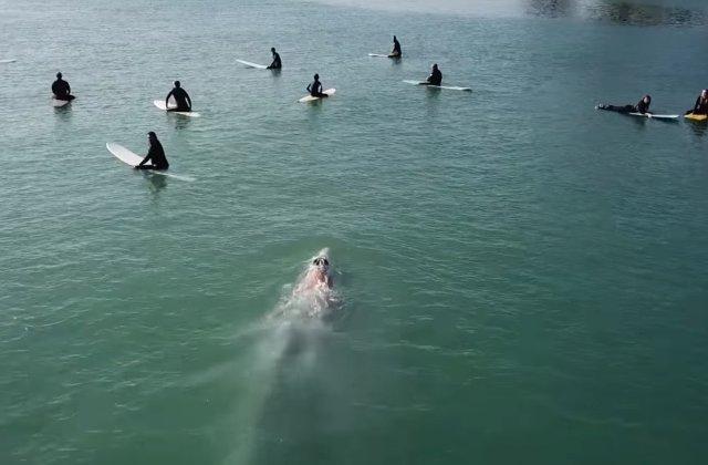 VIDEO VIRAL/ O balena albastra, surprinsa in timp ce inoata sub un grup de surferi