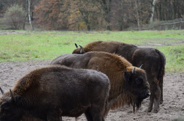 Muntii Fagaras devin acasa pentru zimbri