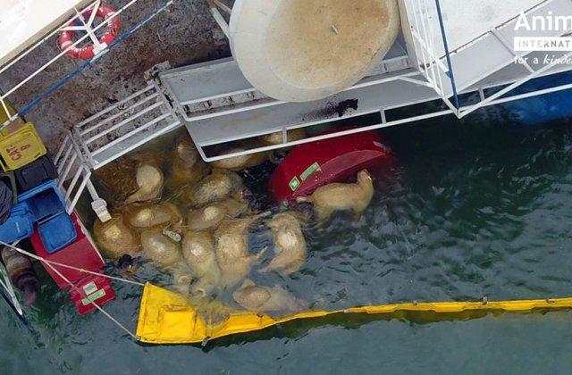 Animals International: Incidentul din portul Midia putea fi evitat daca Romania nu ar mai exporta animale vii