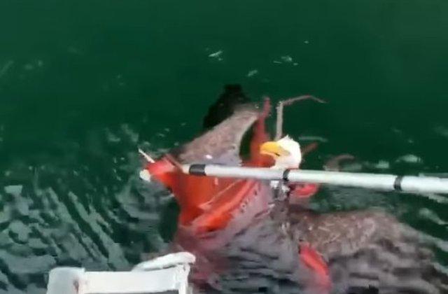 Un vultur cu cap alb, salvat din tentaculele unei caracatite/ VIDEO