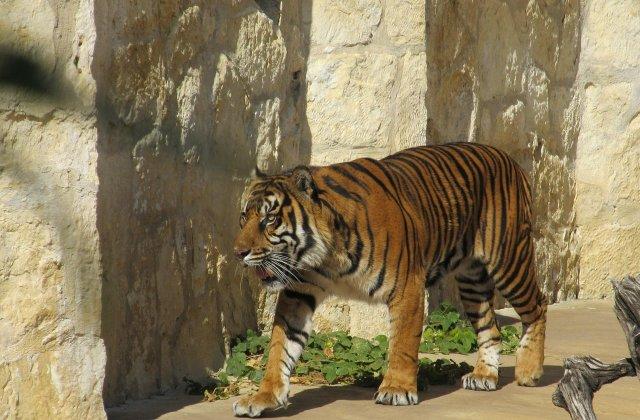 O femeie de 30 de ani, sfasiata de un tigru in apropierea unei bai publice