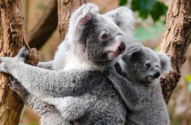 Salvati cu masina din mijlocul flacarilor: Doi adolescenti se implica sa salveze ursi koala din Australia/ VIDEO