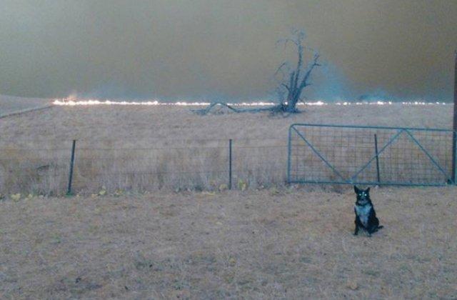 Un caine a salvat o turma de oi din calea incendiilor din Australia / VIDEO