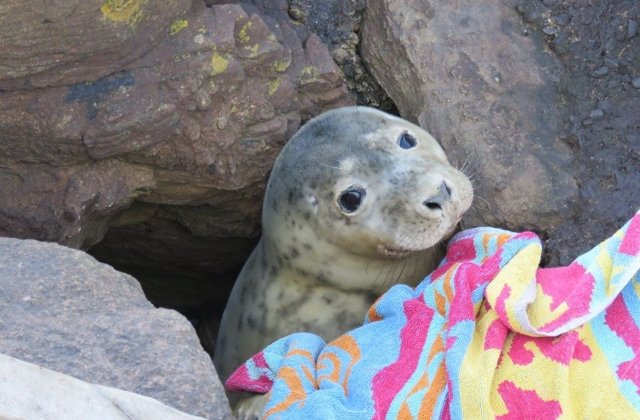 Un pui de foca blocat intre stanci a fost salvat cu ajutorul voluntarilor