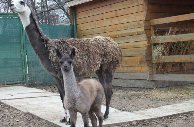 Pui de lama, nascut la Zoo Oradea, al doilea in decurs de un an/ FOTO