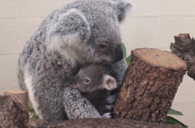 S-a nascut primul koala la o gradina zoologica din Miami care a supravietuit in 28 de ani / VIDEO