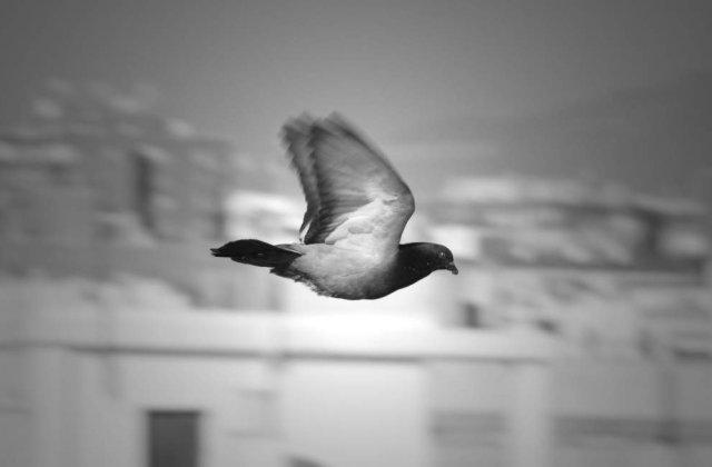 Porumbeii pot aprecia frumusetea asemeni oamenilor