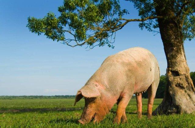 Singurul porc din Afganistan, izolat de teama gripei porcine, a iesit din carantina