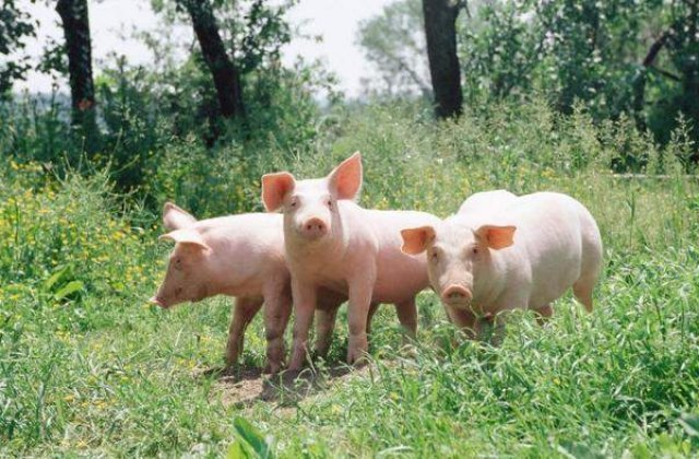 Pesta Porcina evolueaza in prezent in 267 de localitati cu 619 focare