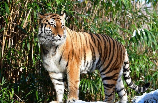 Transmiterea om-animal, reală? Un tigru de la zoo a fost testat pozitiv cu coronavirus