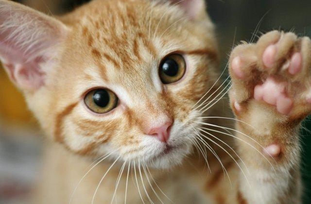 Pisicile pot lua coronavirus de la oameni. Ce alte animale pot fi în pericol
