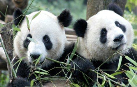 Doi urşi panda s-au împerecheat după 10 ani de încercări fără rezultat
