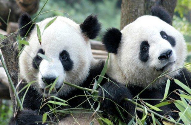 Dragoste în vremea carantinei: Doi urşi panda s-au împerecheat după 10 ani de încercări fără rezultat