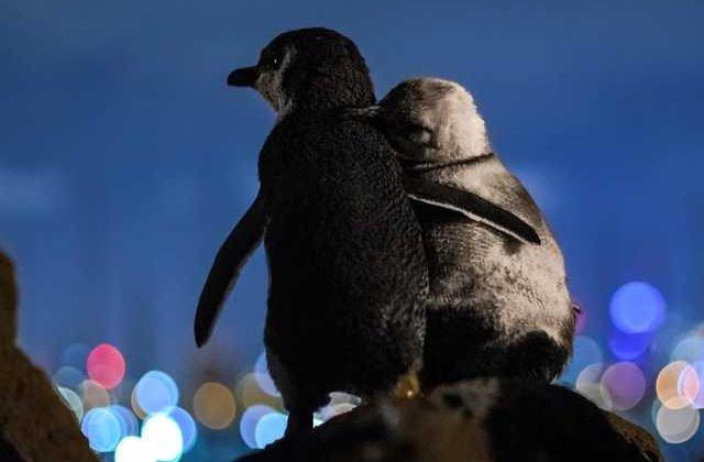 Dragostea învinge mereu! Doi pinguini văduvi se îmbrățișează în timp ce privesc luminile orașului
