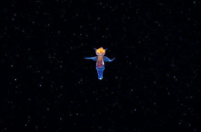 VIDEO: Îngerul de mare: o creatură uimitoare care pare să fie extraterestră