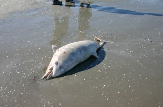 Situație ieșită din comun la Marea Neagră. 11 delfini eșuați au fost găsiți pe plajă