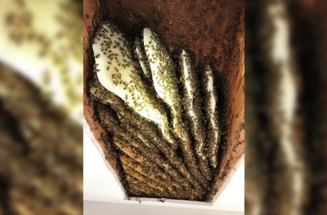 Intrigat de zgomote, un bărbat a descoperit 100.000 de albine în tavanul casei