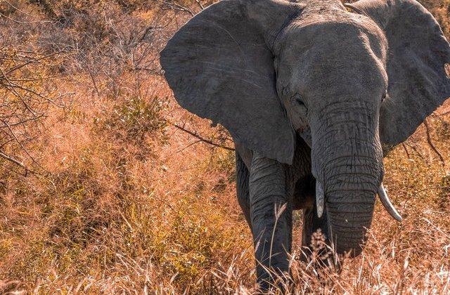 De ce elefanții nu țin la beție în ciuda staturii impunătoare