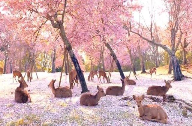VIDEO Nara, orașul florilor de cireș, invadat de căprioare