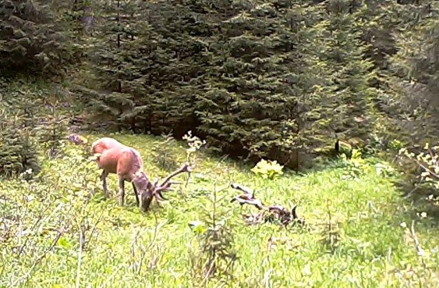 VIDEO Cerb tânăr, surprins în timp ce se hrănea în Parcul Național Retezat