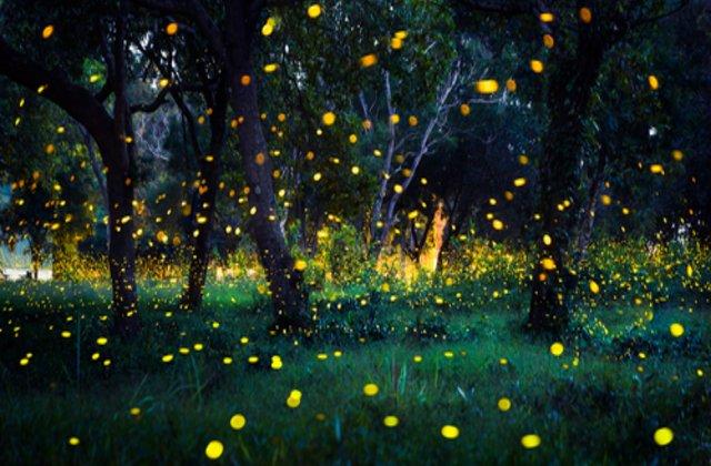 VIDEO Fenomenul spectaculos care transformă această pădure într-un loc de vis. Mii de licurici strălucesc în sincron