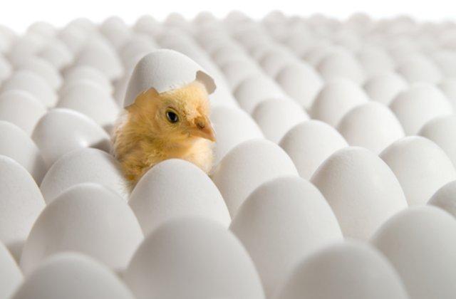 VIDEO Ouăle cumpărate de o femeie de la supermarket au făcut pui
